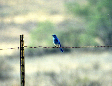 11/24/02 Mountain Bluebird (Sialia curruccides). Near Entrance @Fish&Game HQ, San Jacinto Wildlife Area, Riverside County, CA