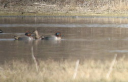 2/25/07 Green-winged Teal (Anas crecca). San Jacinto Wildlife Area, Riverside County, CA