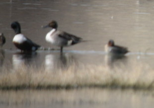 2/25/07 Northern Pintail (Anas acuta), Green-winged Teal (Anas crecca). San Jacinto Wildlife Area, Riverside County, CA