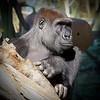 gorilla  San Diego zoo