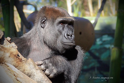 Ebuka Gorilla at the San Diego Zoo