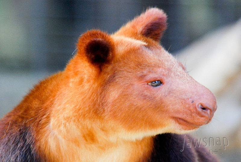 "<span id=""title"">Buergers' Tree Kangaroo</span> (<em>Dendrolagus goodfellowi buergersi</em>)"