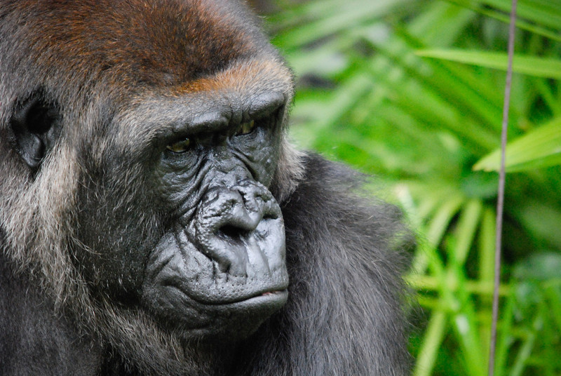 """<span id=""""date"""">_10/02/10_</span> <span id=""""title"""">Western Gorilla</span> (<em>Gorilla gorilla gorilla</em>) Today my wife and I visited the San Diego Zoo! She had never been and I hadn't been in at least 10 years, so it was great to make the trip. As mentioned in my last few dailies, I rented a monster Sigma 150-500mm lens that allowed me to take shots like this - it was a blast! I got a lot of keepers, but this was my favorite. I just wish that twig wasn't there... :) The lens was quite a burden to carry from 9-5, but well worth it, I think. I was able to get amazing close-up details of the animals that would have been impossible otherwise. I relied heavily on auto ISO because the lens is very slow at f/5-6.3. A lot of darker subjects pushed it to ISO 1600, but I figured that was the price to pay for non-blurry subjects. The lens is certainly not of the highest quality - even my sharpest shots have some aberration and softness even stopped down to f/9. Regardless, I had a great time and highly recommend renting a super telephoto for your next zoo trip!  <a href=""""http://www.jawsnap.net/Animals/SanDiegoZoo2010/"""">More Zoo Photos</a>  <a href=""""http://www.jawsnap.net/Daily/year2/7157835_BfJPF#668221536_G6uoU"""">[last year]</a>"""