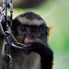 "<span id=""title"">Wolf's Guenon</span> (<em>Cercopithecus wolfi wolfi</em>)"