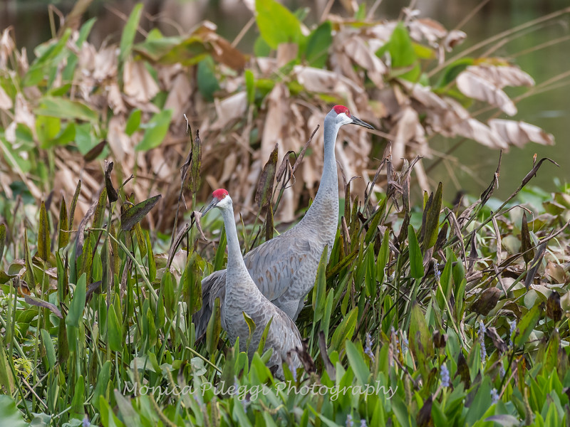 Sandhill Cranes January 2018-7972