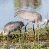 Sandhill Cranes January 2018-7693