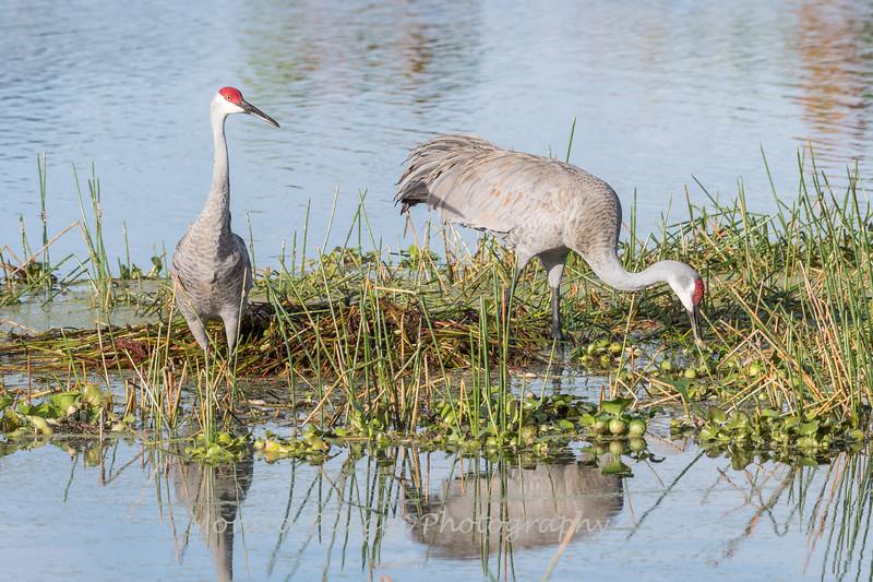 Sandhill Cranes January 2018-7699