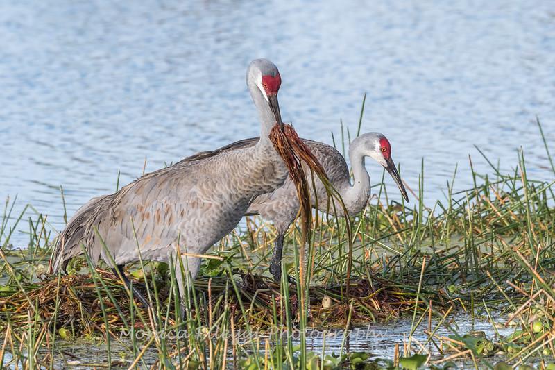 Sandhill Cranes January 2018-7712