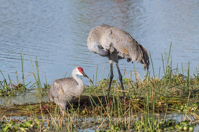 Sandhill Cranes January 2018-7703