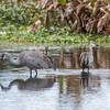 Sandhill Cranes January 2018-8059