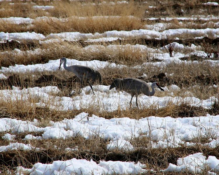 Sandhill Cranes - Monte Vista - March 2010