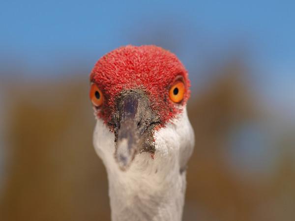 Sandhill Cranes @ Riverbend