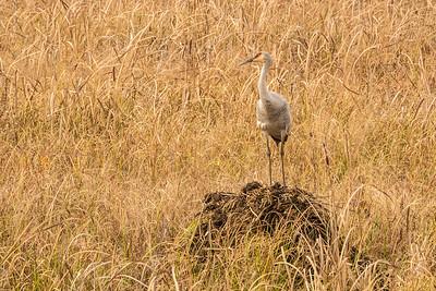 "SANDHILL CRANES 02831  ""Sandhill Sentry""  Crex Meadows Wildlife Area - Grantsburg, Wisconsin"
