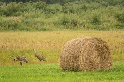 "SANDHILL CRANES 05179  ""Farm Field Cranes""  Cook County, MN"