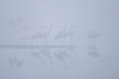 "SANDHILL CRANES 7773  ""Sandhill Cranes in early morning fog at Crex Meadows""  Crex Meadows Wildlife Area - Grantsburg, Wisconsin"