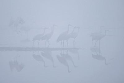 """SANDHILL CRANES 7773  """"Sandhill Cranes in early morning fog at Crex Meadows""""  Crex Meadows Wildlife Area - Grantsburg, Wisconsin"""