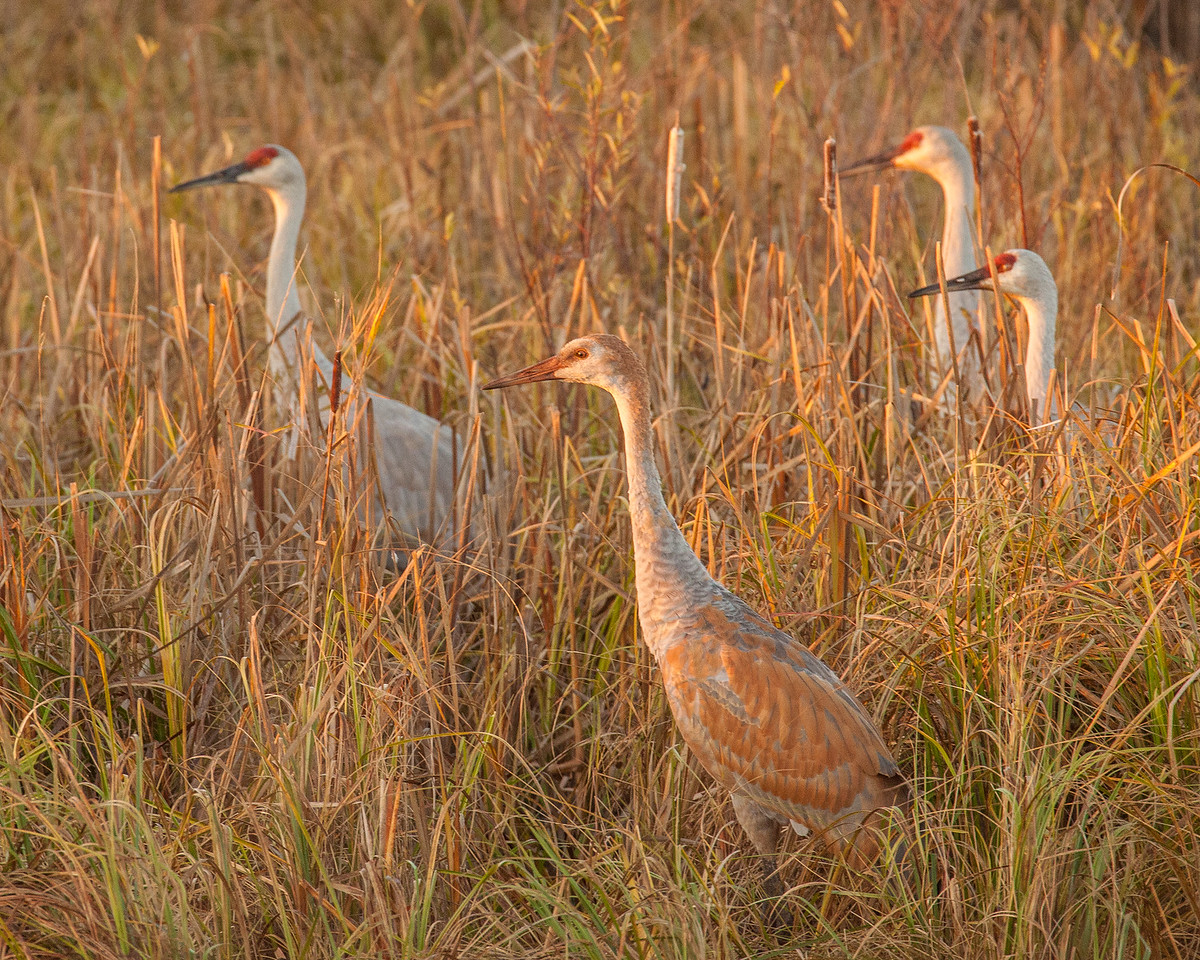 "SANDHILL CRANES 0305<br /> <br /> ""Young Sandhill at Sunrise""<br /> <br /> Crex Meadows Wildlife Area, Wisconsin"