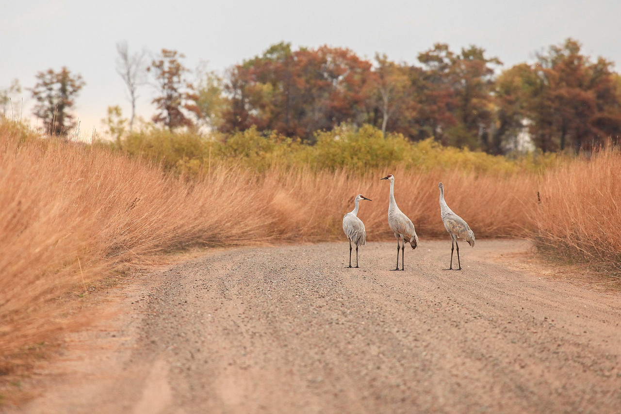 "SANDHILL CRANES 2989  ""Family Stroll""  A family of cranes (the young colt is on the right) takes a walk on one of the roads at Crex Meadows Wildlife Area in Grantsburg, Wisconsin."
