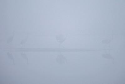 """SANDHILL CRANES 7772  """"Sandhill Cranes in early morning fog at Crex Meadows""""  Crex Meadows Wildlife Area - Grantsburg, Wisconsin"""