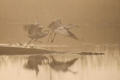 """SANDHILL CRANES 7811  """"Sandhill Cranes - Ready to Fly #3""""  Crex Meadows Wildlife Area - Grantsburg, Wisconsin"""