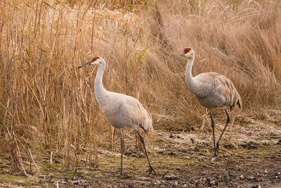 """SANDHILL CRANES 02675  """"Crex Meadows Cranes""""  Crex Meadows Wildlife Area - Grantsburg, Wisconsin"""