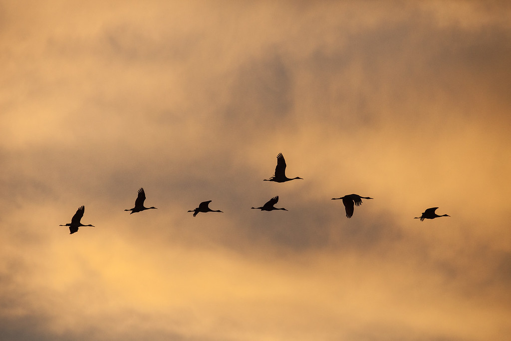"SANDHILL CRANES 0302<br /> <br /> ""A Line of Sandhills at Sunrise""<br /> <br /> Crex Meadows Wildlife Area, Wisconsin"