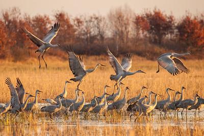 """SANDHILL CRANES 0323  """"Morning Cranes at Crex Meadows""""  Crex Meadows Wildlife Area, Wisconsin"""