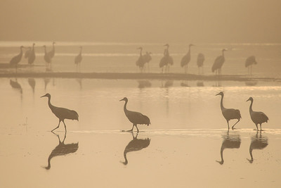 "SANDHILL CRANES 7821  ""Foggy morning stroll""  Crex Meadows Wildlife Area - Grantsburg, Wisconsin"