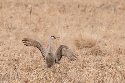 """SANDHILL CRANES 7130  """"Happy Crane!""""  Crex Meadows Wildlife Area - Grantsburg, WI"""