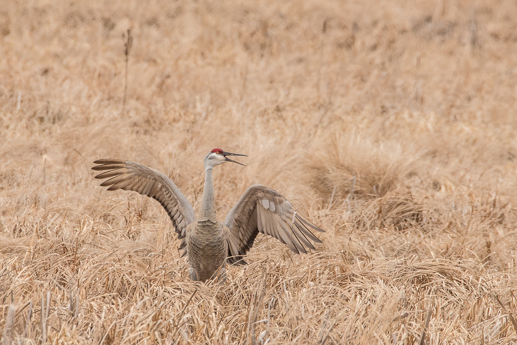 """SANDHILL CRANES 7130<br /> <br /> """"Happy Crane!""""<br /> <br /> Crex Meadows Wildlife Area - Grantsburg, WI"""
