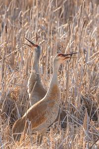 """SANDHILL CRANES 7269  """"Singing Cranes""""  Crex Meadows Wildlife Area - Grantsburg, WI"""