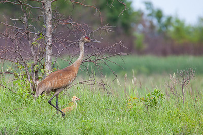 "SANDHILL CRANES 7789  ""Sandhill Crane colt with parent at Crex Meadows""  Crex Meadows Wildlife Area - Grantsburg, Wisconsin"