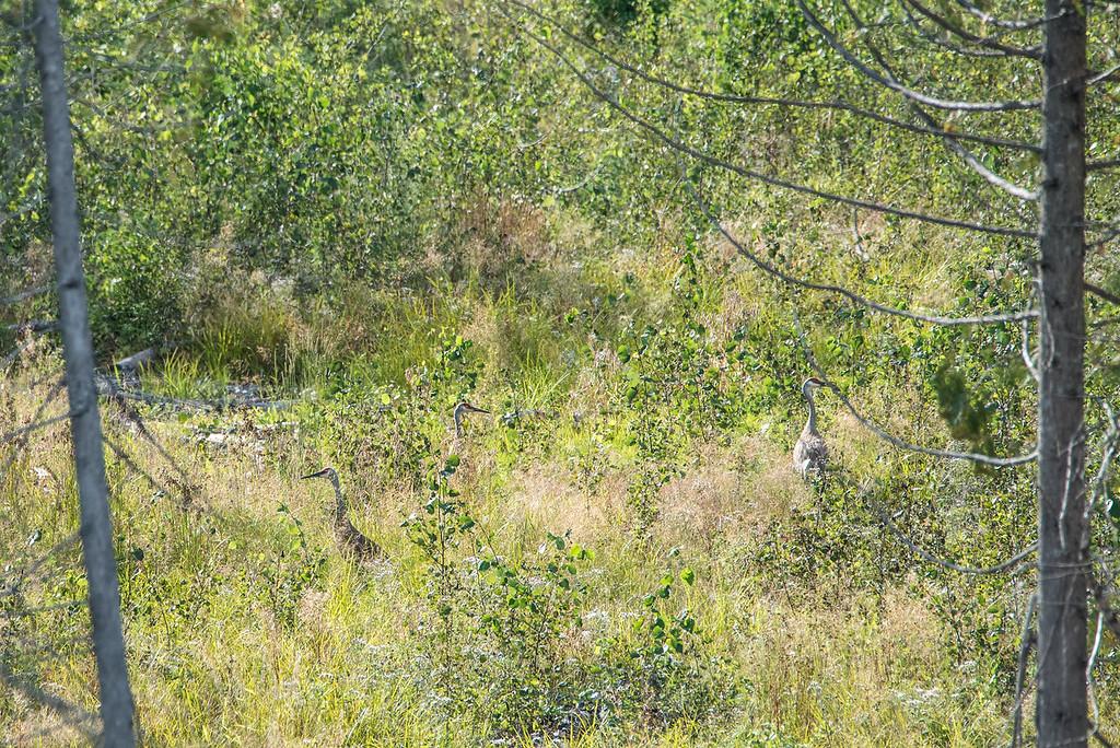 "SANDHILL CRANES 8540<br /> <br /> ""Sandhill Cranes along Otter Lake Road""<br /> <br /> Cook County, MN"