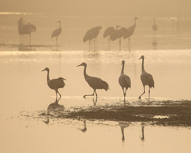 "SANDHILL CRANES 7820  ""Foggy morning stroll""  Crex Meadows Wildlife Area - Grantsburg, Wisconsin"