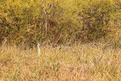 "SANDHILL CRANES 3031  ""Peekaboo Crane""  Crex Meadows Wildlife Area - Grantsburg, Wisconsin"