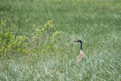 """SANDHILL CRANES 7218  """"Cook County Crane""""  Near the Gunflint Trail in Cook County, MN"""