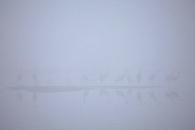 "SANDHILL CRANES 7764  ""Sandhill Cranes in early morning fog at Crex Meadows""  Crex Meadows Wildlife Area - Grantsburg, Wisconsin"