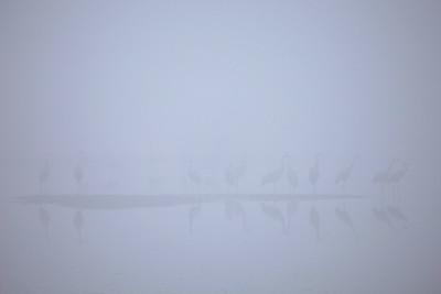 """SANDHILL CRANES 7764  """"Sandhill Cranes in early morning fog at Crex Meadows""""  Crex Meadows Wildlife Area - Grantsburg, Wisconsin"""