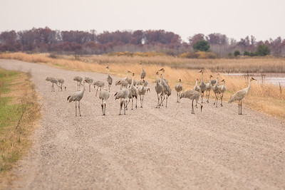 "SANDHILL CRANES 02880  ""Crane Traffic Jam""  Crex Meadows Wildlife Area - Grantsburg, Wisconsin"