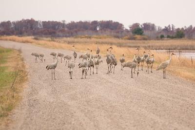 "SANDHILL CRANES 02880  ""Crane Traffic Jam""  Crex Meadows Wildlife Area - Grantsburg, Wisconsin"