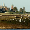 In the forground: More Terns waiting for their meal to pass by, in the background: Sands Point Lighthouse.
