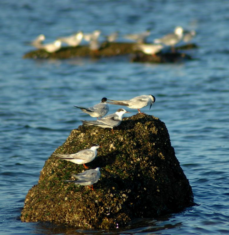 Five various Terns perching on a rock. Just waiting for their meal to swim by.