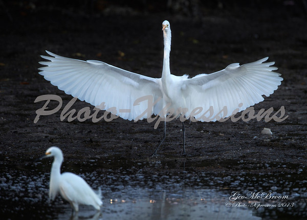 egret wing spread-print_4661