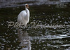 egret eating-print_4337