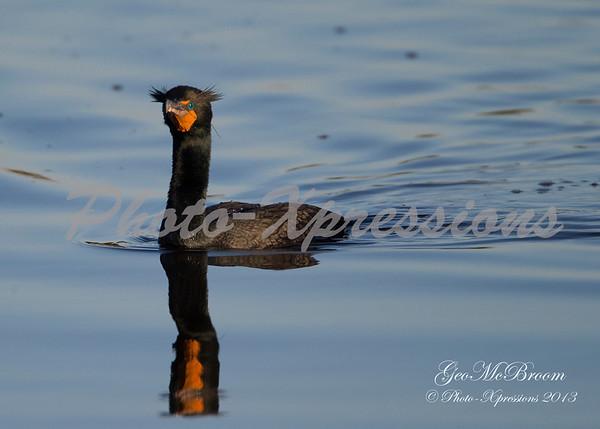 Double-crested Cormorant-landing-3-print_4617