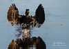 Double crested Cormorant-landing-1-print_4612