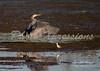 great blue egret-print_4704