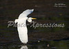 egret in flight-print_4668