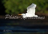 egret in flight-print_4673