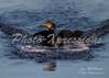 Double-crested Cormorant-landing-2-print_4614